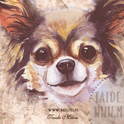 Chihuahua pitkäkarvainen