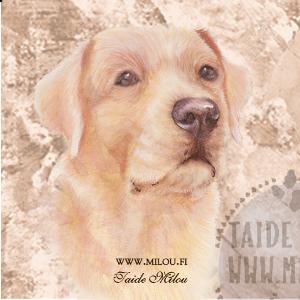 Labradorinnoutaja kelt_M