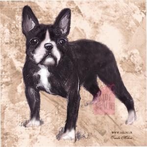 Ranskanbulldoggi6_M